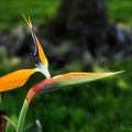 Bird of Paradise is the common name for the Strelitzia, a genus of five species of perennial plants, native to South Africa. It is featured on the reverse of the 50 cent coin there.